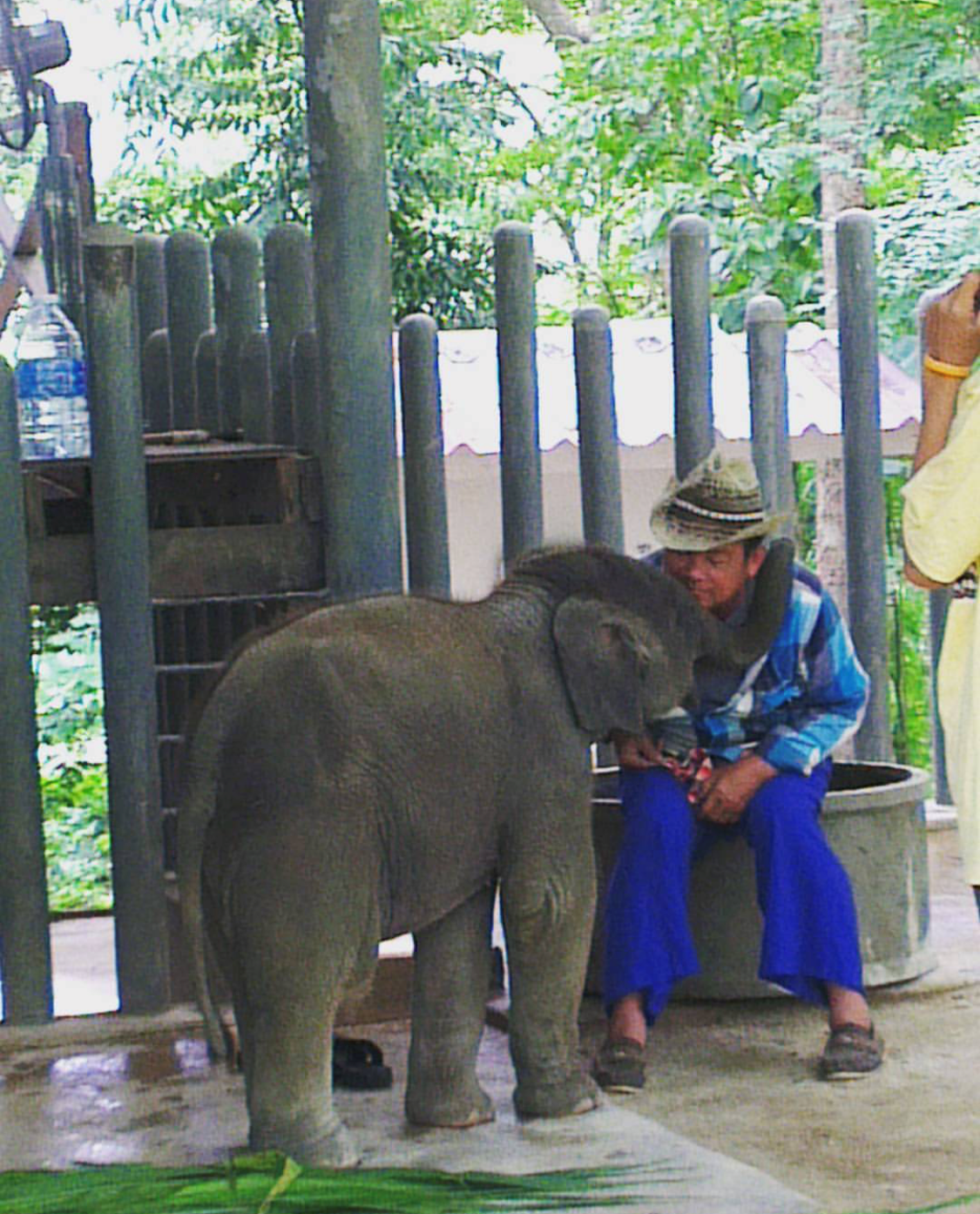 Spend time with White Elephants in natural at Chiang Mai Elephants.